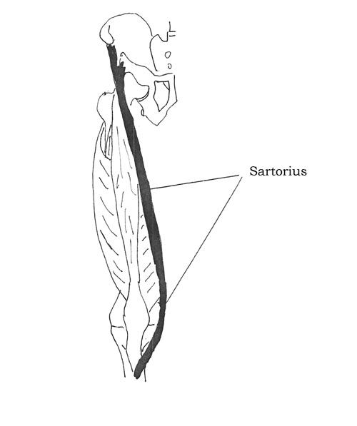 Sartorious Muscles