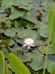 Water lily at Coast Botanical Gardens, Fort Bragg, CA