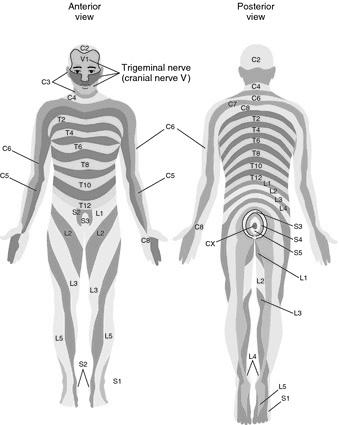 Dermatones (dermatomes), front and rear