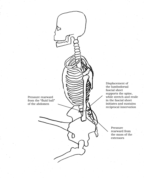 Displacement of thoracolumbar fascia