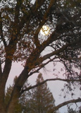 Moonrise through oaks