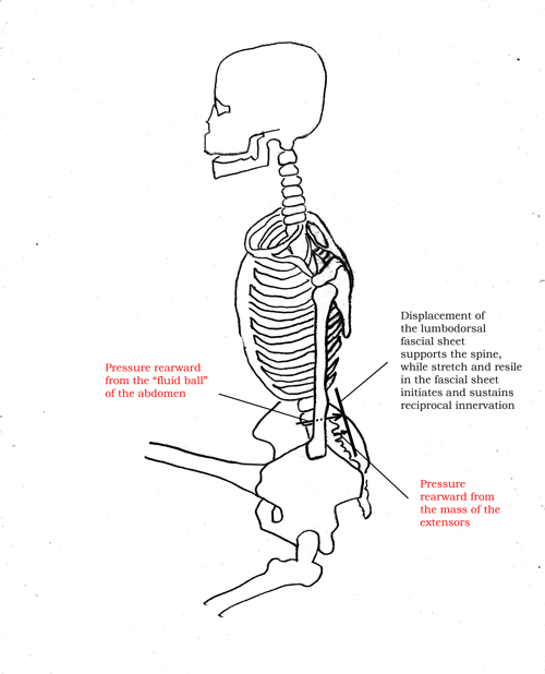 Displacement of thoracolumar fascia