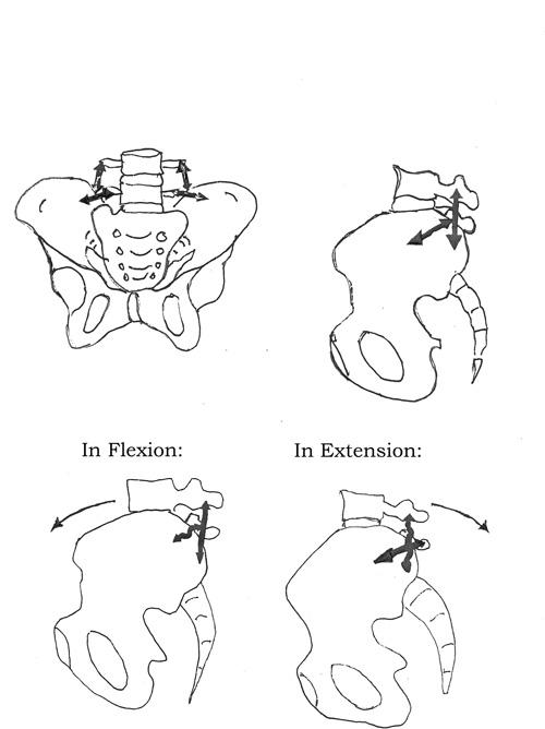 Ilio-lumbar ligaments